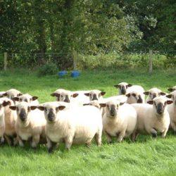 Hampshire Sheeps 1